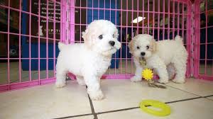 puppies local breeders