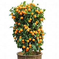 orange potted fruit dwarf orange tree