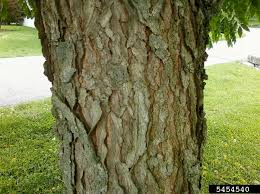 This tree gets its name because early kentucky settlers noticed the resemblance of its seeds to coffee beans. Kentucky Coffeetree Nebraska Extension Community Environment Nebraska