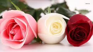 beautiful rose hd wallpaper peakpx