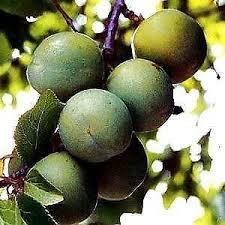 Jurassicplants Online Tree NurseryLotus Fruit Tree