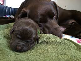 newborn chocolate lab puppies. Brilliant Newborn My 3 Year Old Chocolate Lab Just Became A Mother Throughout Newborn Chocolate Lab Puppies P