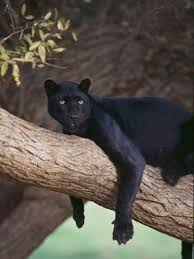 black panther sitting on tree branch by dlillc on black panther animal wall art with panther wall art for sale at allposters