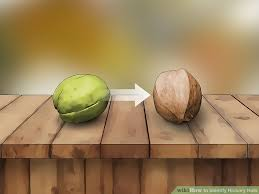 How To Identify Hickory Nuts With Pictures Wikihow