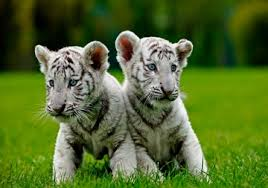white tiger. Interesting Tiger With White Tiger
