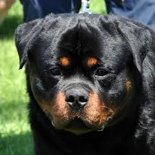 german rottweiler dog. see the difference between american ,german and serbian rottweiler german dog