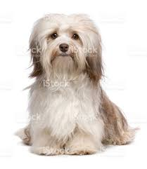 Small Picture Beautiful Long Haired White Havanese Bichon Dog stock photo