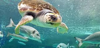 Vom Aussterben bedroht: Caretta Caretta – Meeresschildkröten