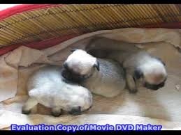 newborn baby pugs. Unique Newborn For Newborn Baby Pugs