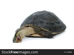 Malayan Box Turtle Free Stock Images Photos 15788268