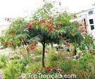 scarlet wisteria tree