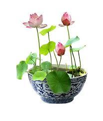 Alkarty <b>Lotus</b> Seeds (Black, <b>Pack</b> of 10): Amazon.in: Garden ...
