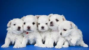cute white puppies wallpaper.  White Netbook  Intended Cute White Puppies Wallpaper P
