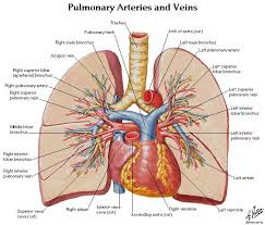 chapter lower limb part essay medicine and health dorsal on  anatomy and physiology of the lungs on the human heart circulatory system anatomy physiology