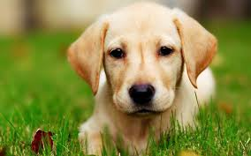 lab puppy wallpapers. Plain Puppy Cute Chocolate Lab Puppies Wallpaper High Quality Download Free  In Puppy Wallpapers O