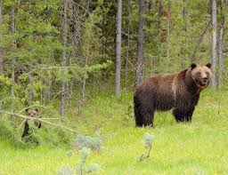 essay on wild life conservation essay on your life essay about  helping grizzlies return to their historical home the national helping grizzlies return to their historical home wild life conservation essay