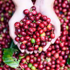 You see, the coffee bean as we know it isn't really a bean at all. Coffee Fruit Nutrition Vs Coffee Beans How Do They Compare Dr Axe