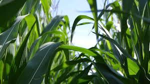 Maïs ensilage : les dates de mesures MS - Avenir Conseil Elevage