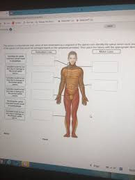 Nerve Root Dermatome Chart Solved Saved N Activity Is A Dermatome Map Areas Of Skin