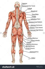 However, there is no universally standard definition of what constitutes an organ, and some tissue groups' status as one is debated. Human Anatomy Back View Koibana Info Body Anatomy Muscular System Anatomy Body Muscle Anatomy