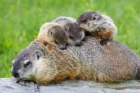 how to keep groundhogs out of my garden. 9 Things You Didn\u0027t Know About Groundhogs How To Keep Out Of My Garden