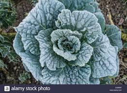 Kitchen Garden Vegetables Frozen Vegetables In Kitchen Garden On A Winter Morning South