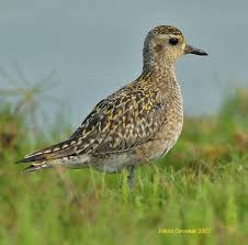 Image result for golden plover in flight