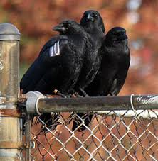 Image result for images of crows