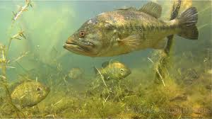 largemouth bass underwater.  Largemouth Largemouth For Bass Underwater