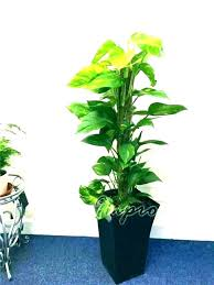 large indoor house plants indoor house plants low light large plant best tall be large plants