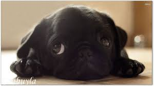 black pug puppy. Interesting Pug Top Quality Modern Wall Canvas Art Dog Oil Painting Black Pug Puppy Cool  Home Decor Hot In E
