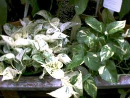description a spreading or climbing plant used often in hanging baskets the two most popular cultivars e aureum aureum and e aureum marble queen