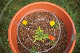 interplanting flowers veggies fruits