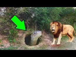 pitbull dog vs lion. Fine Pitbull LON Vs BG SNAKE Real Fight  Grizzly Bear Wolf Gorilla Baboon Tiger  Leopard Wild  Throughout Pitbull Dog Vs Lion S