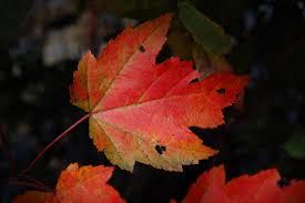 Image result for image Maple Leaf