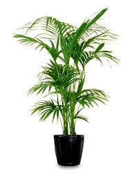 It is one of the sturdiest houseplants. It is easy to maintain and often  seen in offices and stores.