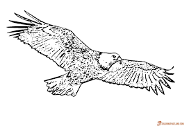 bald eagle template eagle coloring pages free printable black and white pictures