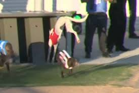 Start Boxes Dog Reverses Out Of The Boxes In Bizarre Start To Greyhound Race