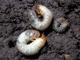 White Grubs Pests Corn Integrated Pest Management Ipm Field