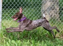 German Shorthaired Pointer Growth Chart German Shorthaired Pointer Dog Breed Information And Pictures