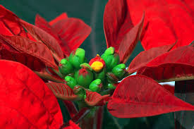 Julstjärna Krukväxt Wikipedia
