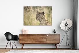 leopard stalking african wildlife