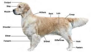 Golden Retriever Weight Chart Female Golden Retriever Breed Standard Appearance Head Coat Etc