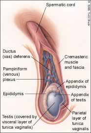 testicular rupture symptoms. figure 2. testicular rupture symptoms