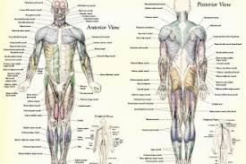 Who classified species into names? Muscle Anatomy Muscles Body Labeled Biological Science Picture Directory Pulpbits Net