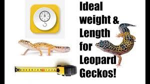 Leopard Gecko Size Chart Ideal Weight And Length For Leopard Geckos