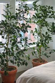 Best Grow Light For Citrus Tree 14 Things Nobody Tells You About Indoor Citrus Trees