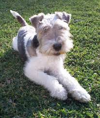 wire haired terrier mix. Unique Wire Front View P A White With Black And Tan Wire Fox Terrier That Is Laying  Across  With Haired Mix E