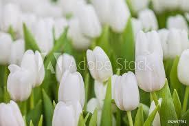 Znalezione obrazy dla zapytania biały tulipan