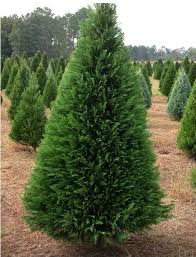 Field of Leyland Cypress The LA-MS Christmas Tree Association